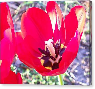 On Fire Red Tulip Treat Canvas Print by Belinda Lee