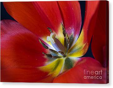 Red Tulip's Heart Canvas Print by Paul W Faust -  Impressions of Light