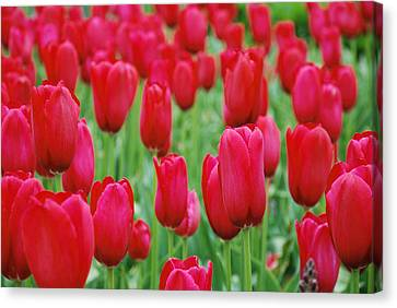 Red Tulips Canvas Print by Jennifer Ancker