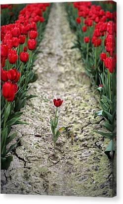 Red Tulips Canvas Print by Jim Corwin