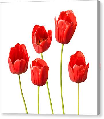 Red Tulips White Background Canvas Print by Natalie Kinnear