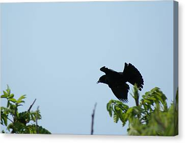 Red Winged Blackbird In Taking Off Canvas Print by Andrew Lahay
