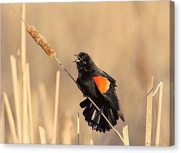 Red Winged Blackbird On Cattail Canvas Print by Daniel Behm