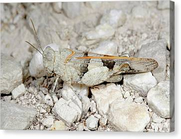 Red-winged Grasshopper Canvas Print by Nigel Downer