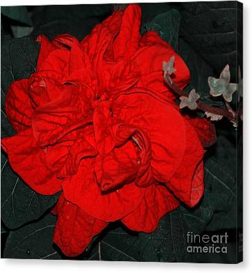 Red Winter Rose Canvas Print by Kathleen Struckle