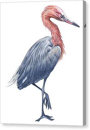 Reddish Egret Canvas Print by Anonymous