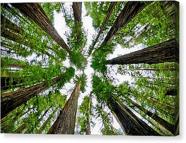 Redwood Skies Canvas Print by Kevin Munro
