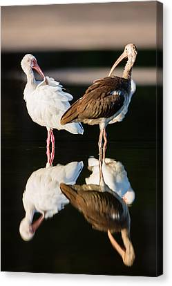 Reflection Of Two Young Ibis Canvas Print by Andres Leon