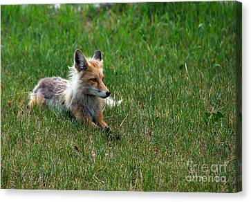 Relaxing Red Fox Canvas Print by Robert Bales