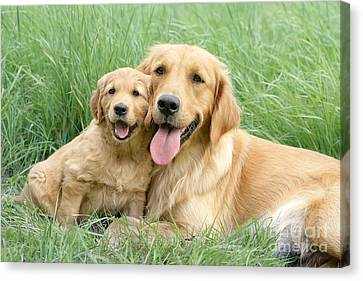Relaxing Retrievers Canvas Print by Greg Cuddiford