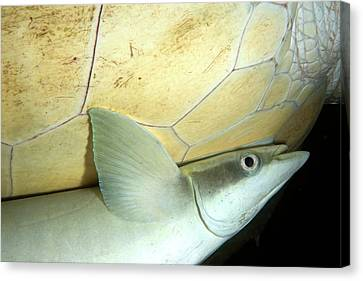 Remora Attached To Turtle Canvas Print by Louise Murray