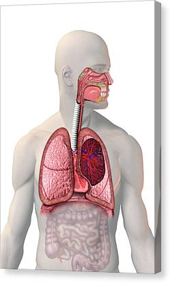 Respiratory System Canvas Print by Carol & Mike Werner