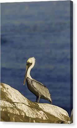 Resting Pelican Canvas Print by Sebastian Musial