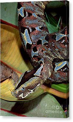 Rhino Viper Canvas Print by Gregory G. Dimijian, M.D.