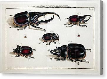 Rhinoceros Beetles Canvas Print by Paul D Stewart