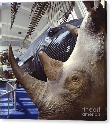 Rhinoceros Specimen, Museum Gallery Canvas Print by Natural History Museum, London