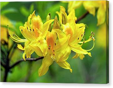Rhodendron Luteum Flowers Canvas Print by Adrian Thomas