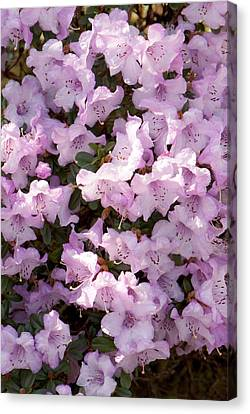 Rhodendron Permakoense Flowers Canvas Print by Adrian Thomas