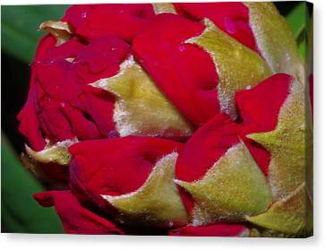 Rhododendron Bud Canvas Print by Harold Greer