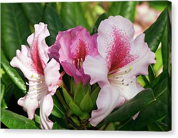 Rhododendron 'diadem' Canvas Print by Adrian Thomas