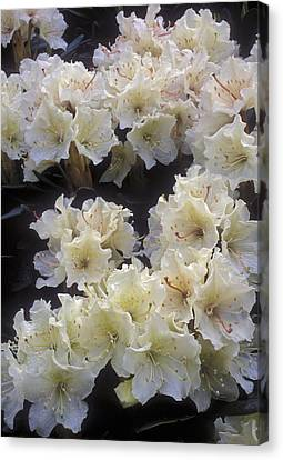 Rhododendrons Canvas Print by Anonymous