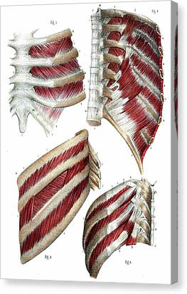 Rib Cage Anatomy Canvas Print by Collection Abecasis