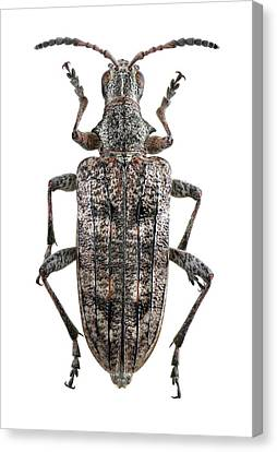 Ribbed Pine Borer Beetle Canvas Print by F. Martinez Clavel