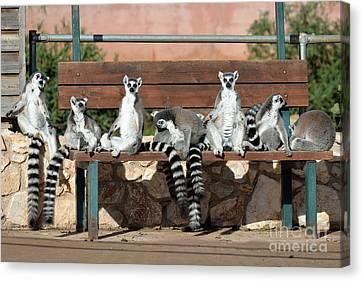 Ring Tailed Lemurs Canvas Print by George Atsametakis