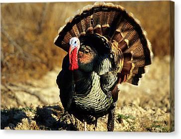 Rio Grande Wild Turkey (meleagris Canvas Print by Richard and Susan Day