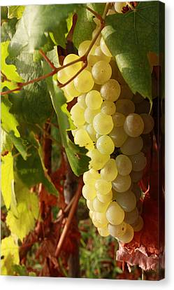Ripe Grapes Canvas Print by Alex Sukonkin