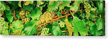Ripe Green Grapes On The Vine, Quebec Canvas Print by Panoramic Images