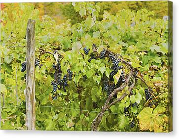 Ripe Purple Grapes On Vine In Maine Canvas Print by Keith Webber Jr