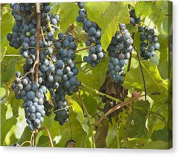 Ripe Purple Grapes On Vine  Canvas Print by Keith Webber Jr