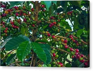 Ripening Coffee Berries Canvas Print by Jess Kraft