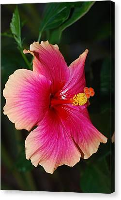 Rise And Shine - Hibiscus Face Canvas Print by Connie Fox