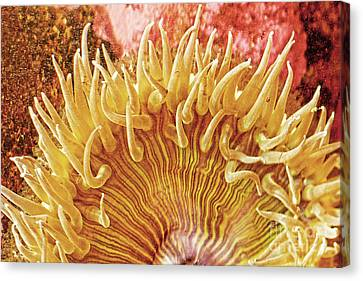 Rise And Shine Sea Anemone- Pictures Of Sea Creatures - Sea Anenome  Canvas Print by Artist and Photographer Laura Wrede