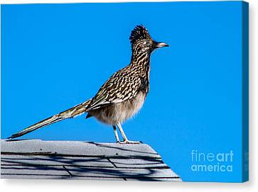 Roadrunner Canvas Print by Robert Bales