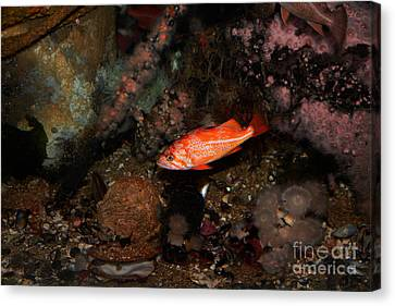 Rock Fish 5d24810 Canvas Print by Wingsdomain Art and Photography