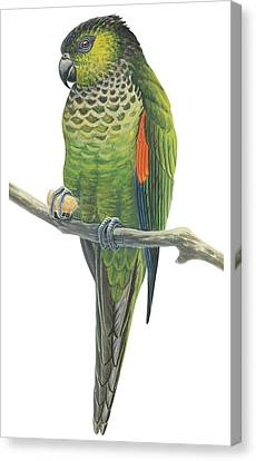 Rock Parakeet Canvas Print by Anonymous