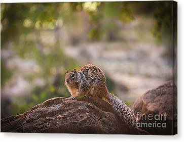 Rock Squirrel In Zion Canvas Print by Robert Bales