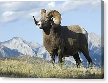 Rocky Mountain Big Horn Sheep Canvas Print by Bob Christopher