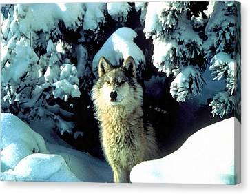 Rocky Mountain Wolf Canvas Print by Studio Artist