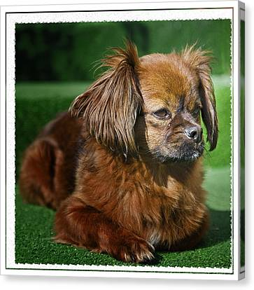 Romanian Pekinese No. 1 Canvas Print by Harold Bonacquist
