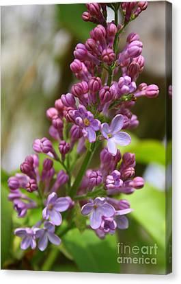 Romantic Lilac Canvas Print by Carol Groenen