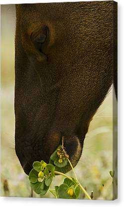 Roosevelt Elk Solemnly Feeding On The Beach Canvas Print by Phil Johnston