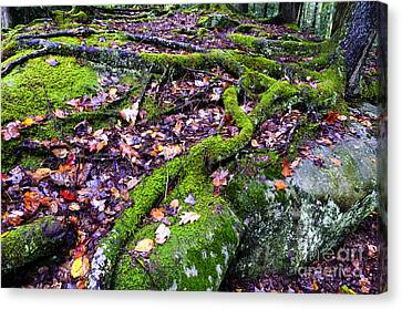 Roots Rock Autumn Forest Canvas Print by Thomas R Fletcher