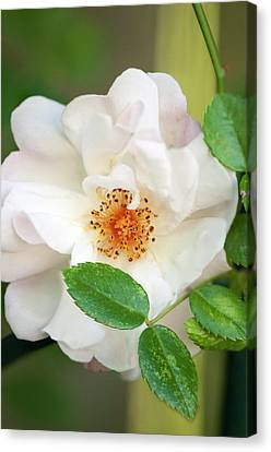 Rosa 'auguste Gervai' Flower Canvas Print by Maria Mosolova
