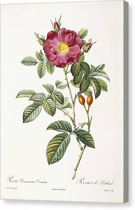 Rosa Damascena Coccina Canvas Print by Pierre Joseph Redoute