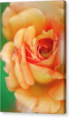 Rosa 'easy Does It' Flower Canvas Print by Maria Mosolova