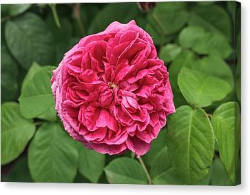 Rosa 'le Havre' Canvas Print by Geoff Kidd